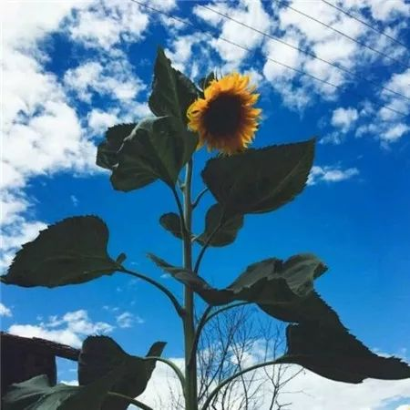 头像|唯美阳光向日葵风景图片大全