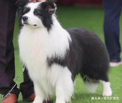 如果你第一次养狗,最好别选这5种狗,你可能驾驭不了它们!