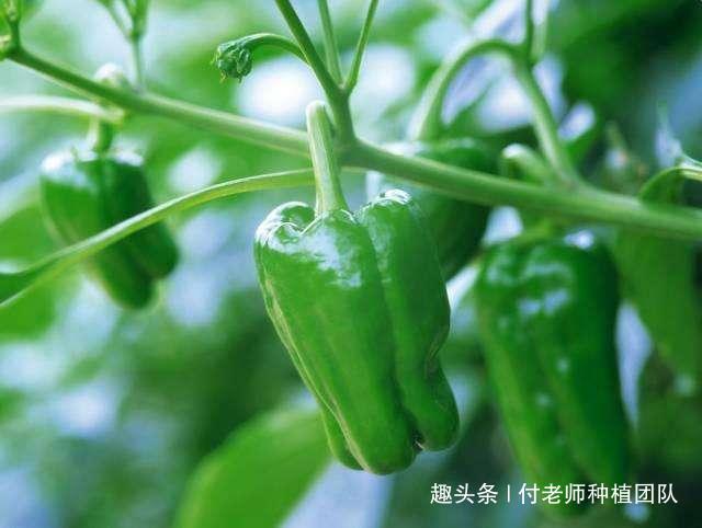 第一茬辣椒采收后,学会1个简单的动作,辣椒就能再结满枝