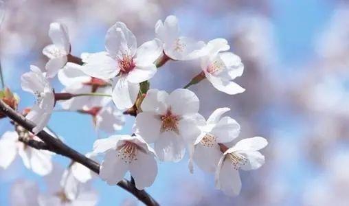 未来十天,樱花盛开,爱情归来,重新与前任寻求复合的星座