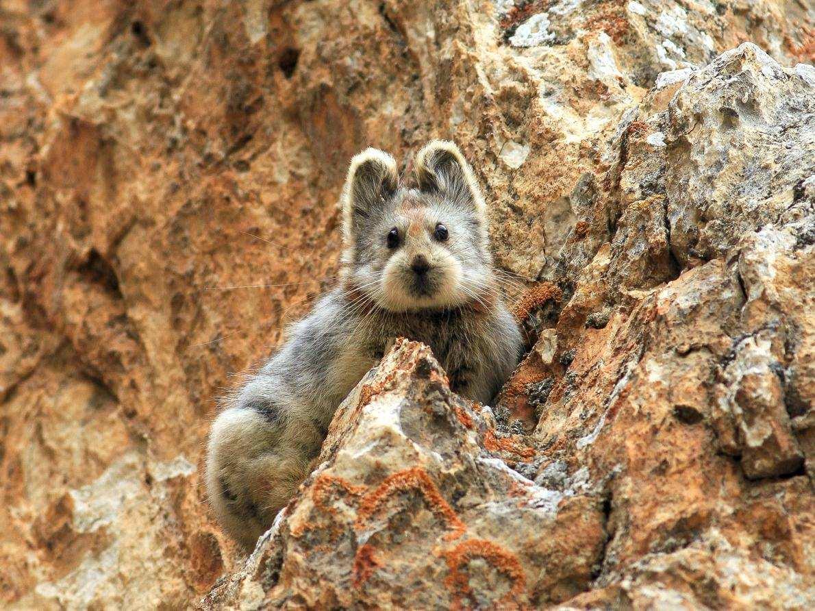 消失22年的伊犁鼠兔再次現身,外表酷似泰迪熊,比大熊貓都珍貴