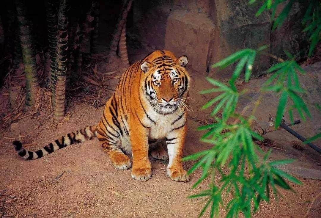 消失了25年的野生華南虎,還會再次出現嗎?