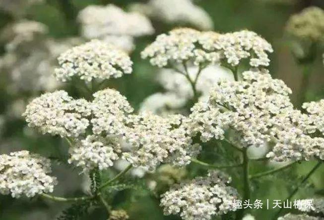 農村一種野草,根皮入藥可以清熱燥濕,現市場上40元一斤產量少