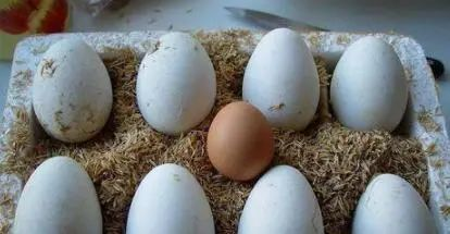我们都吃鸡蛋,为何鹅蛋那么大却很少人吃?老农告诉你背后真相