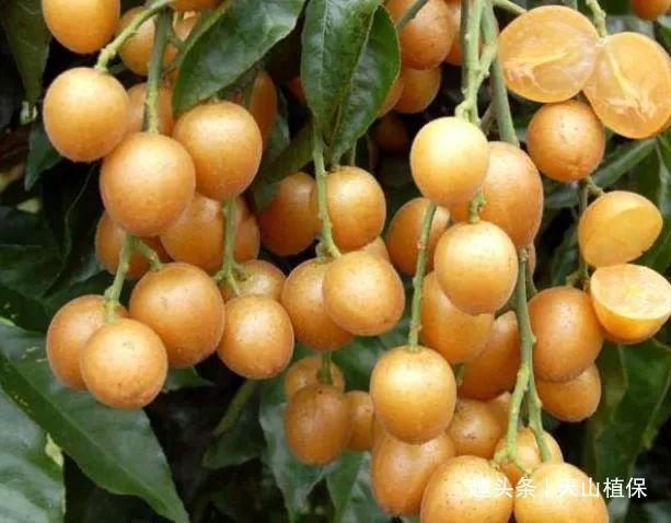 稱為初夏第一果,果皮果核都能吃,城里一斤元,果實入藥能止咳