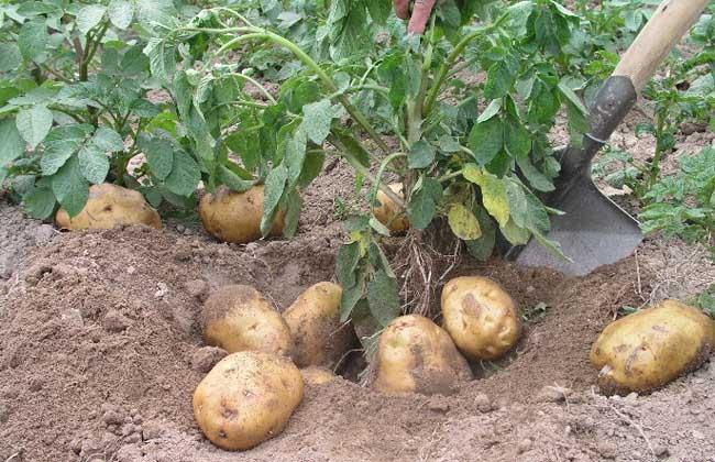 土豆别再炒着吃了,搭配它,减去大肚腩,露出小蛮腰,效果杠杠的