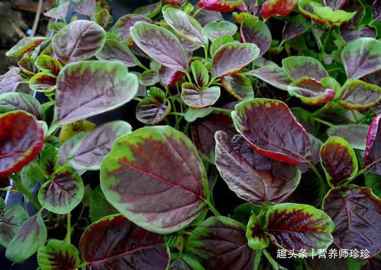 """菜园旁常见的野菜,被誉为""""补血菜"""",补血效果特别好,早知早好"""