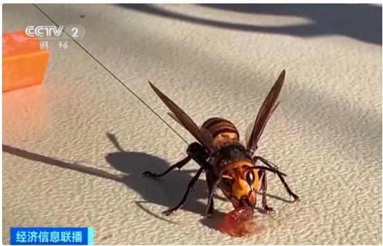 美国剧毒亚洲体型大黄蜂