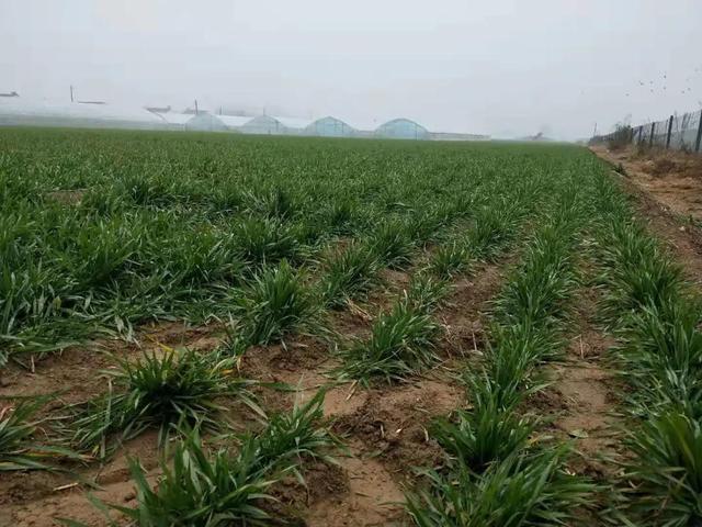 小麥荑要小心,尤其是春季,很容易減產,農戶快來看看吧