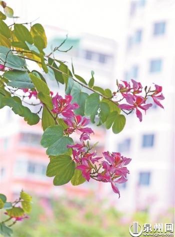 一路常綠 四季有花!泉州市區常用綠化植物多種