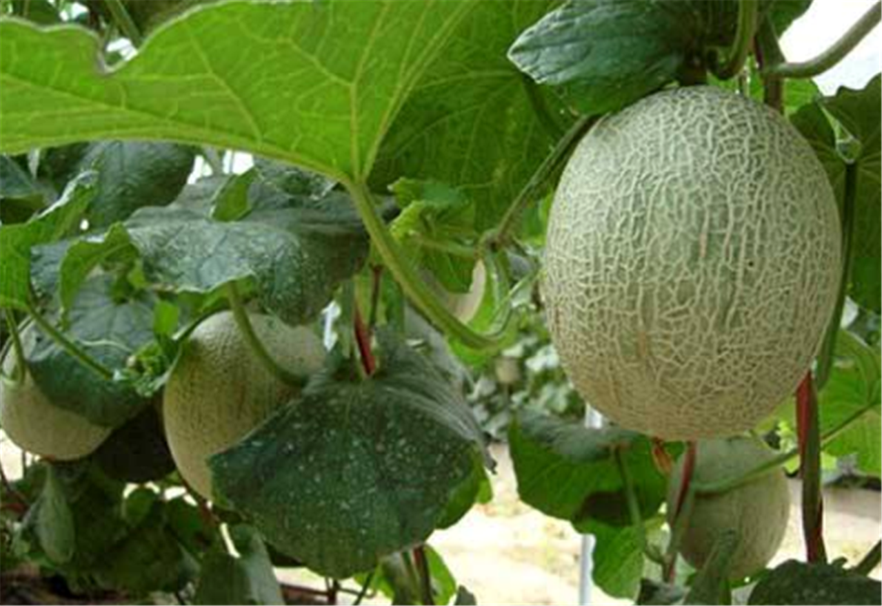 Nourishment During Holidays Four Kinds Of Foods Are Suitable For Children To Eat With Many Benefits And Enhance Immunity Tianfu News Welcome to the nutritional fiber content in 1 different types of cantaloupe, ranging from 0.9 g to 0.9 g per 100g. www tfzx net
